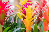 bright, colorful Bromeliad flowers