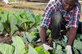 man working with green vegetables in garden