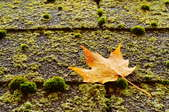 A raindrop-speckled sugar maple leaf on a mossy shingled roof.