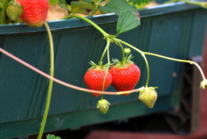 A couple strawberry plants grow inside a rectangular container.
