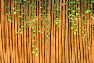 bamboo fence with ivy