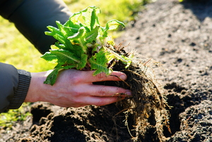 gardener transplanting green plant