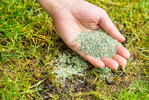 A hand above a green lawn holding a palm full of grass seed