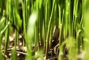 A close-up of grass blades growing up from the soil.