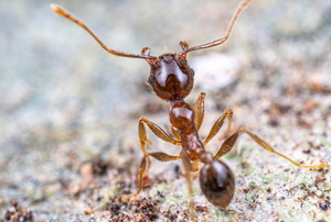 small ant on a rocky surface with antenna up