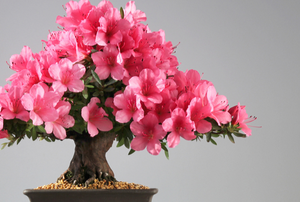 azalea bonsai tree with pink flowers