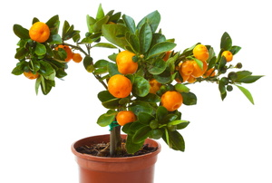 A dwarf citrus tree.