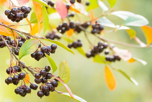 Leaves and berries.