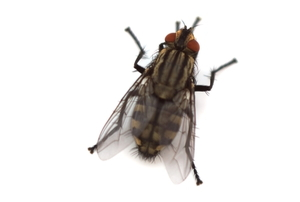 black fly on white background
