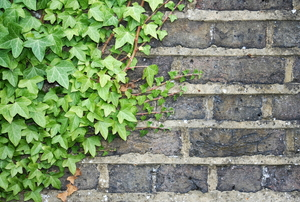 ivy growing up a grey brick wall
