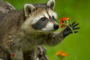 a raccoon holding a flower
