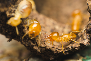 several termites covering a piece of wood