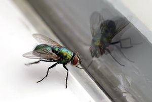 A house fly sitting on a window sill with its reflection in the window glass.