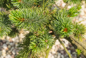 Branch of spruce tree