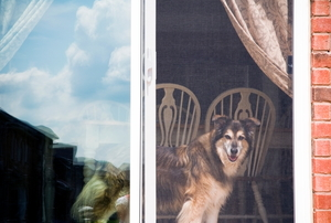 dog standing inside a sliding screen door