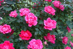 Pink knockout rose bush