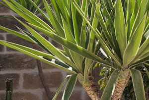 A yucca plant in front of a brick wall.