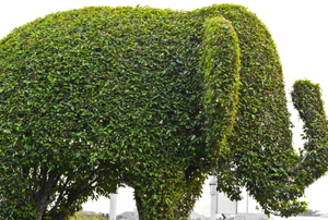 A bush trimmed in the shape of an elephant.