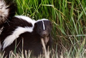 A close look at a skunk in some tall grass.