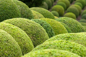 Rows of boxwood shrubs