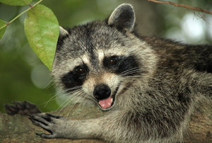 A close-up image of a raccoon.