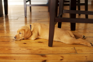 Dog laying on hardwood floors under a table.