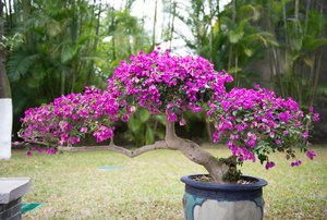 A purple flowering bonsai plant in a pot.