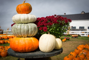 A stack of pumpkins at a pumpkin farm with a white barn in the background.
