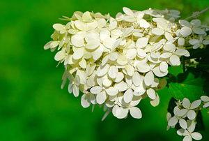 "Hydrangea Paniculata ""Limelight."""
