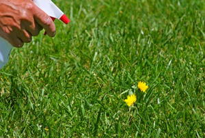 Spraying dandelions with homemade weedkiller.
