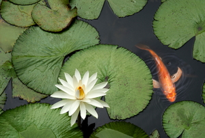 Lily pads and a fish in water.