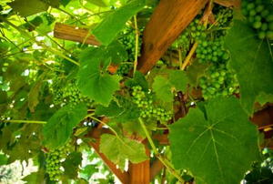 A home grape arbor.