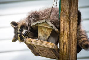 A raccoon hanging out on a bird feeder eating the seed.