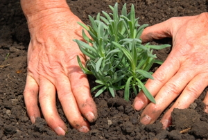 Planting rosemary in the soil with bare hands.