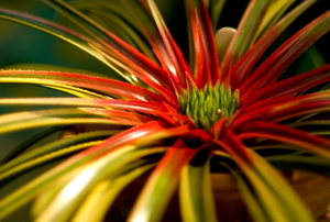 "A closeup of the bromeliad nicknamed the ""galactic warrior."""