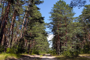 Conifer forest