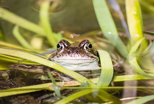 A frog in water surrounded by vegetation.