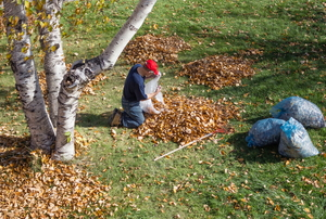 A man cleaning up fall leaves with a rake and trash bags.