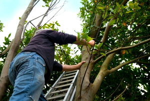 A man on a ladder using a saw to cut branches.
