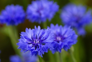 Close on blooming blue cornflowers.