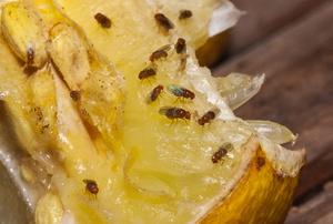 Fruit flies on an apple.