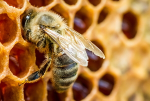 A honeybee crawls over wax comb with honey inside.