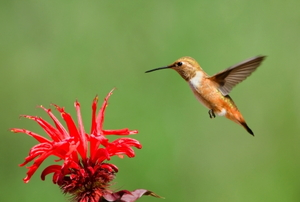 Hummingbird feeding on Red Bee-balm flowers.