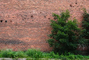 An overgrown shrub against a brick wall.