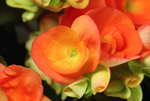 Orange begonias.