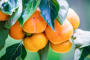 persimmon tree with beautiful fruit