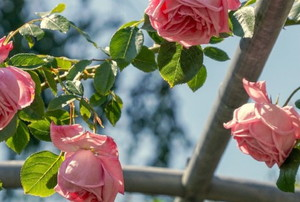 pink roses growing on a garden trellis