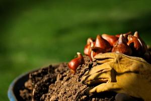 Fall Bulb Planting