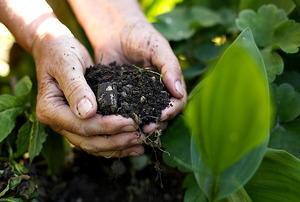Spreading organic fertilizer in the garden.