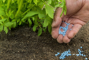 fertilizer in a hand next to a plant